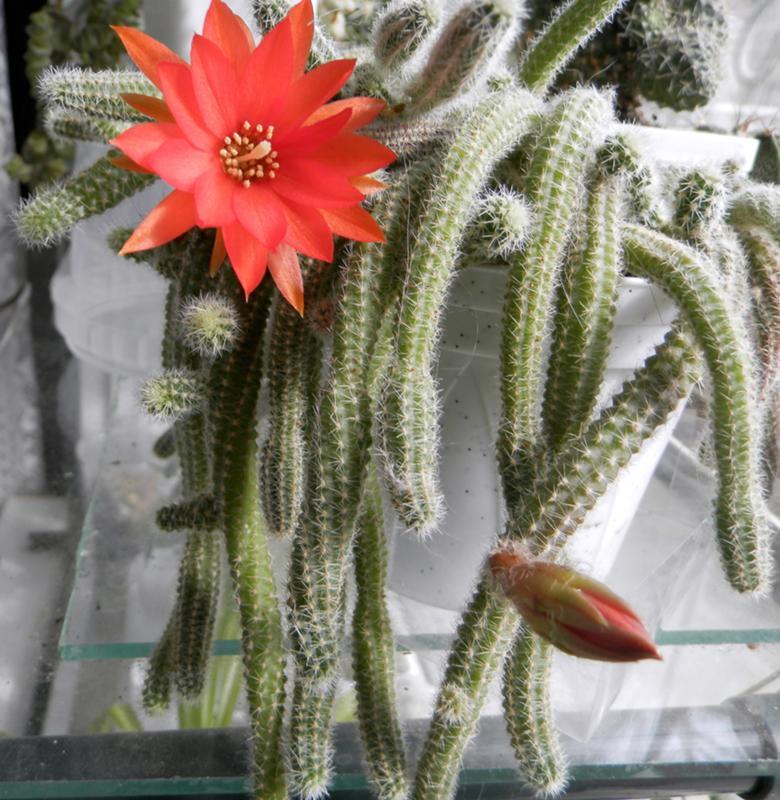лесные кактусы фото и названия заносят
