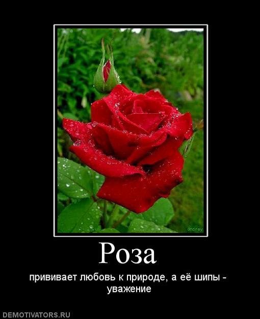 может статусы про розу с картинками селится