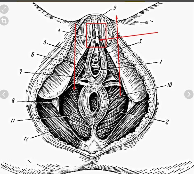 chto-takoe-vulva-i-ee-foto