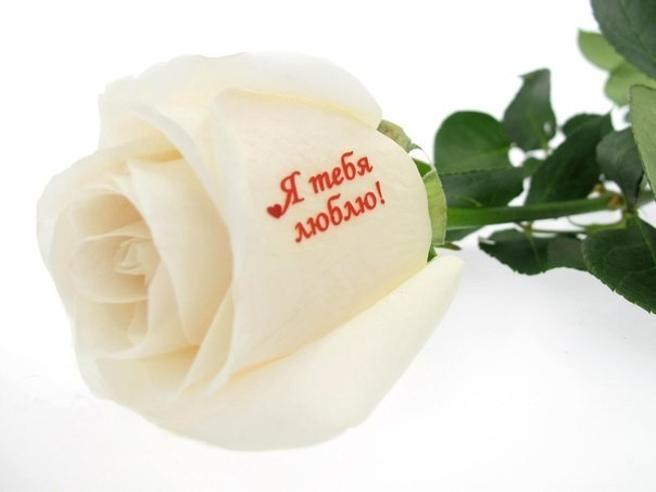 Открытки белые розы для любимой девушки, синяя птица прикол