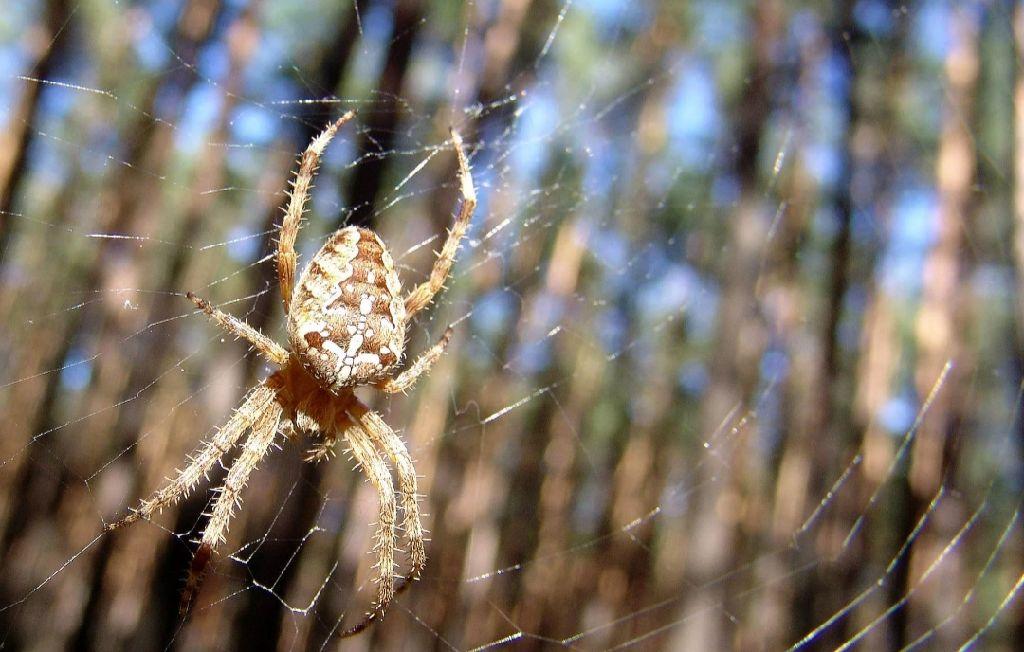 Фото паука крестоносца