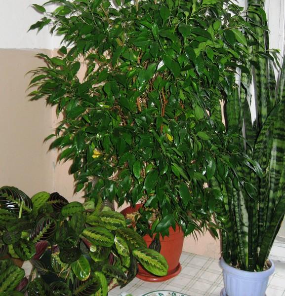 Любят ли чай комнатные растения