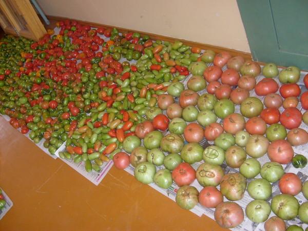 Что делать с зелеными помидорами - Люблю дачу