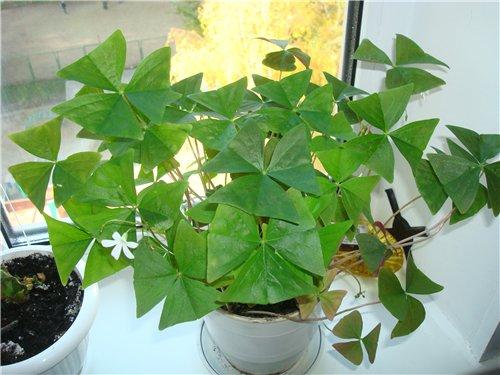 Кислица - Oxalis: фото, условия выращивания, уход и ...