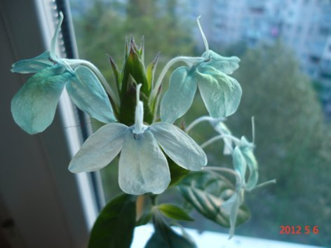 Живые бирюзовые цветы