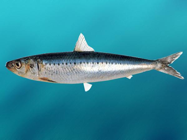 Росрыболовство: рыбаки РФ в 2016 г. возобновят добычу иваси и выловят до 150 тыс. тонн