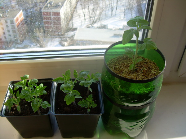 """Ответы@mail.ru: как правиьно вырастить томаты """"балконное чуд."""