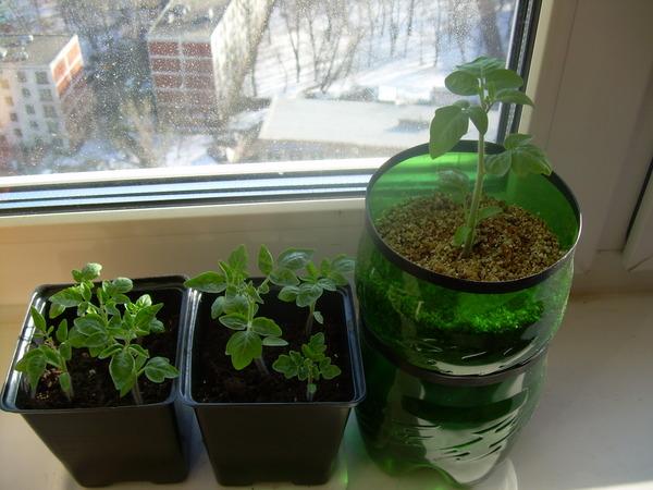 Ответы@mail.ru: выращивание томатов на балконе, подоконнике!.