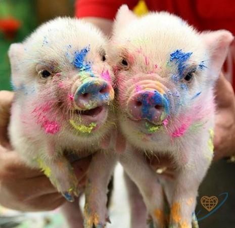 Свинья может испытывать оргазм 30 минут
