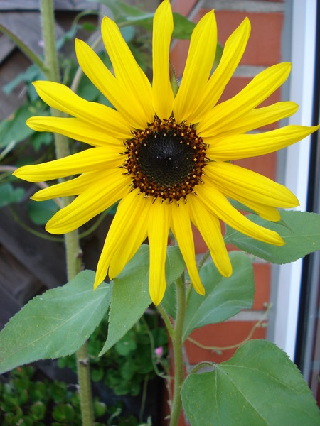 жолтые цветы похожие на подсолнух для видеопроектора моторизованный