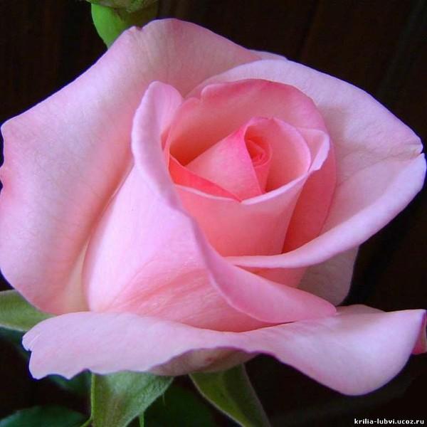 К чему дарят розы - значение белых, желтых, красных и других 14