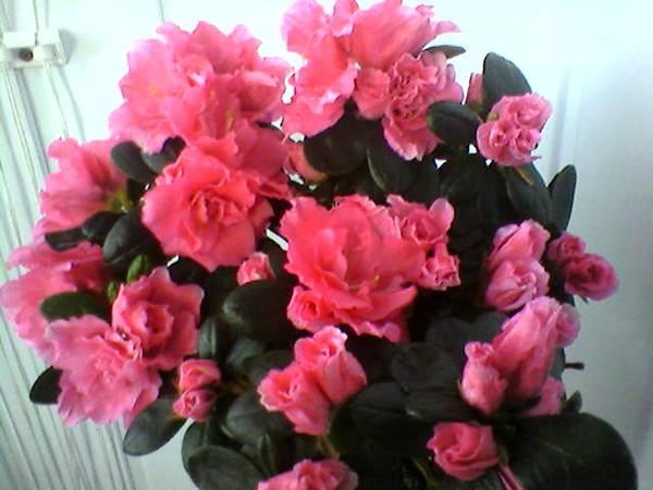 Азалия на цветки попала вода
