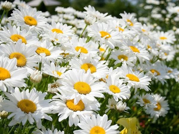 Фото цветок символ россии