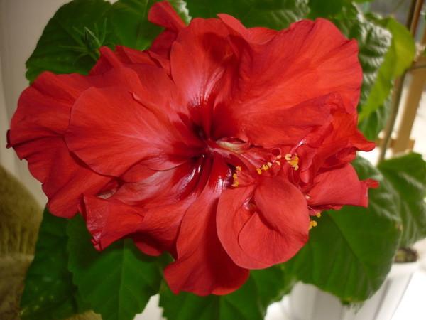 Можно ли держать дома китайскую розу