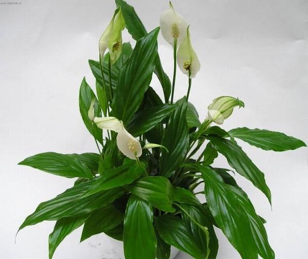 У спатифиллума чернеют цветы