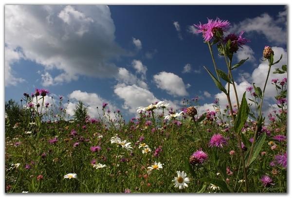 Луговые цветы сибири фото