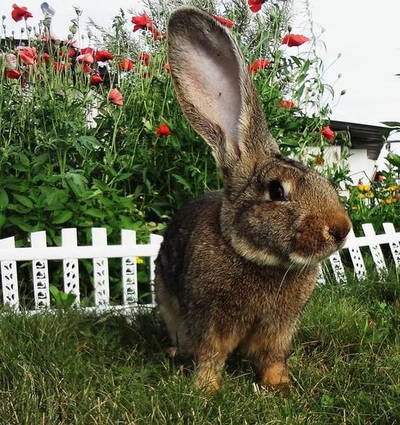 в каком возрасте спаривать кроликов