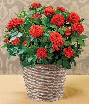 Ответы@mail.ru: как ухаживать за комнатной розой?.