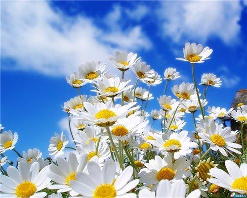 Ромашки значение цветка