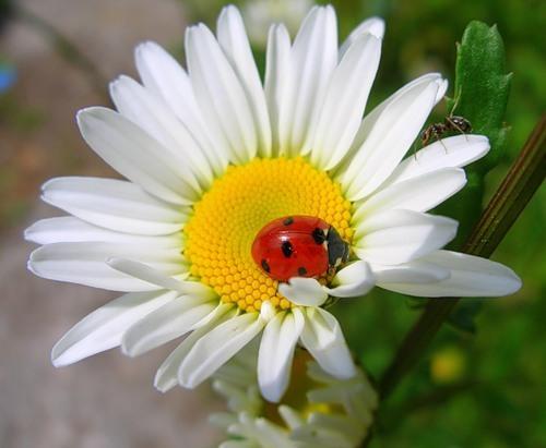 Язык цветов ромашка