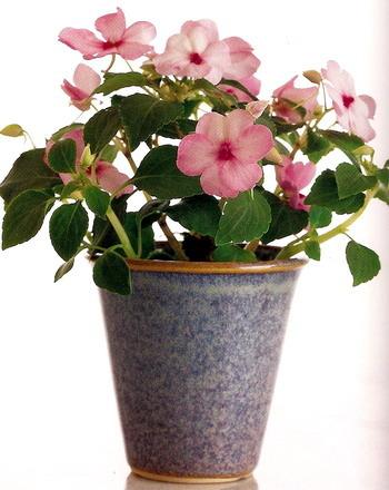 Цветок ванька-мокрый почему листья желтеют и опадают