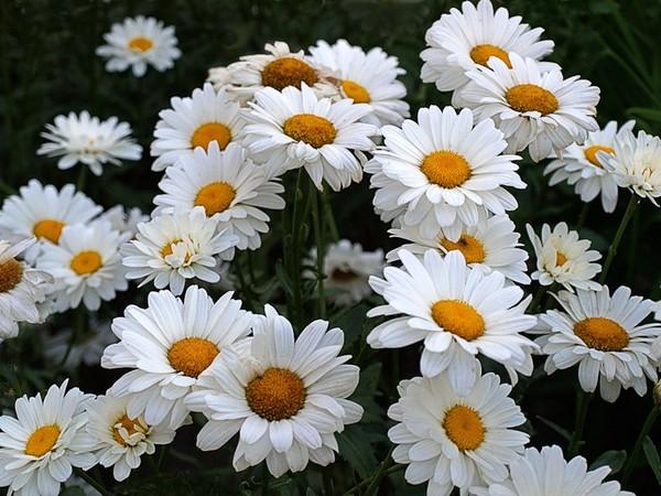 Что символизирует цветок ромашка