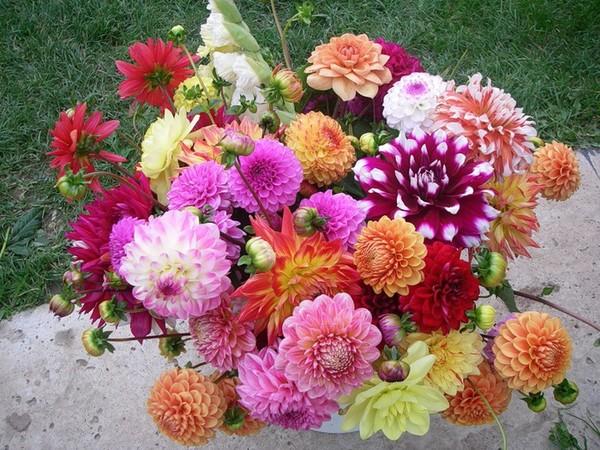 фото цветы георгин