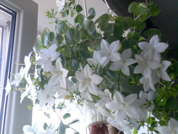 Купить семена колокольчика равнолистного жених и невеста