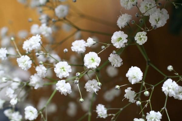 Мелкие белые цветы садовые