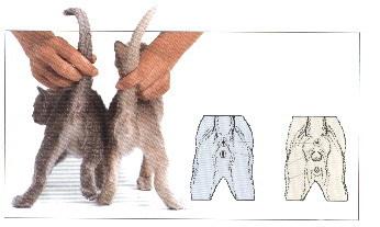 Как отличить кота от кошки котенок