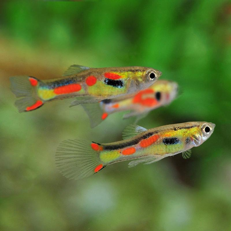evolab guppies The evolab home news team publications prospective and understanding the dynamics of sperm-egg interactions in broadcast spawners and guppies.