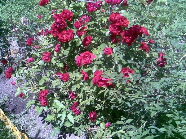 Сколько листьев у шиповника и розы