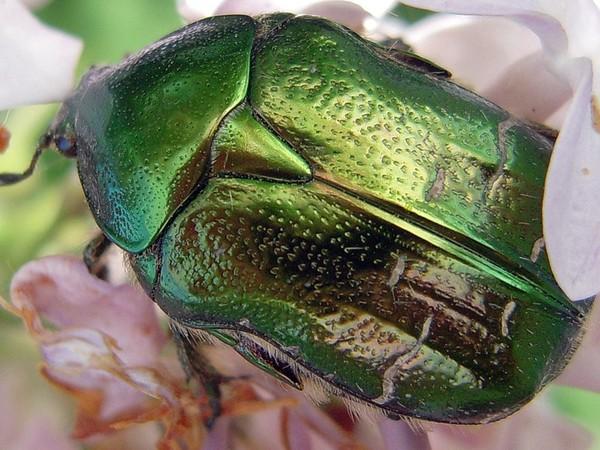 Цвет майского жука