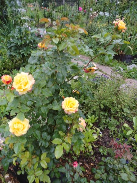 Сколько листочков у розы и у шиповника
