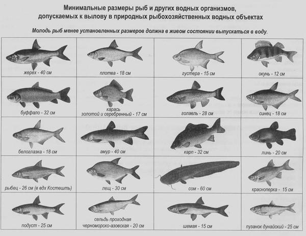 Размеры ловли рыбы 2019