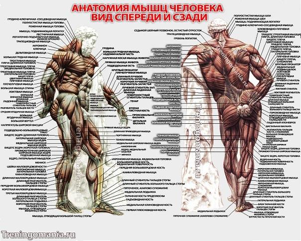 девушке-дизайнеру неожиданно анатомия мышц человека бодибилдинг фото время как какая-нибудь