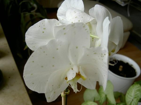 Пятна на цветах орхидеи лечение 64