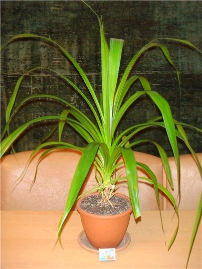 Цветок с длинными листьями как называется и фото