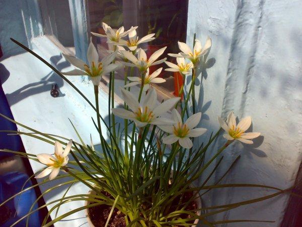 Зефирантес, или выскочка - Комнатные растения и цветы ...