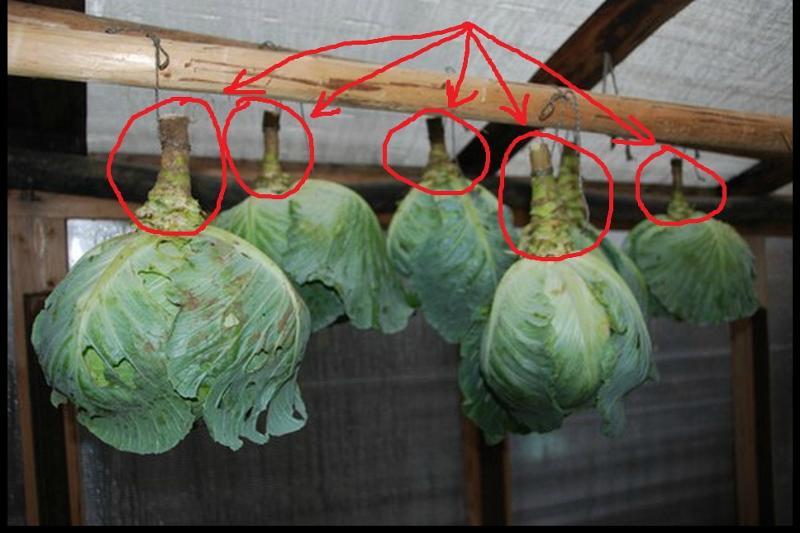 как хранить капусту в погребе зимой