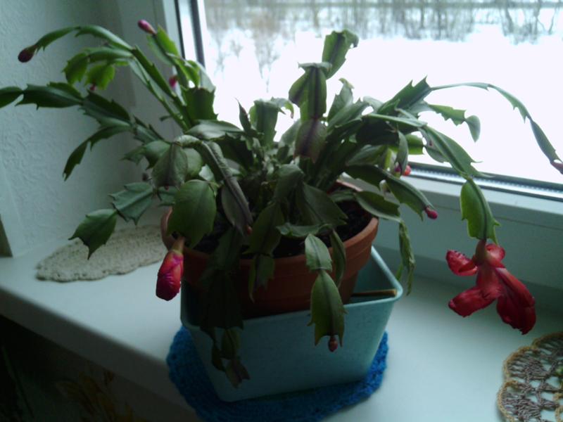 Можно ли обрезать декабрист цветок
