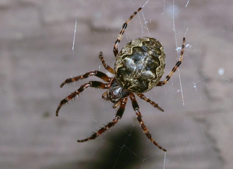 черный паук с точками на спине фото система
