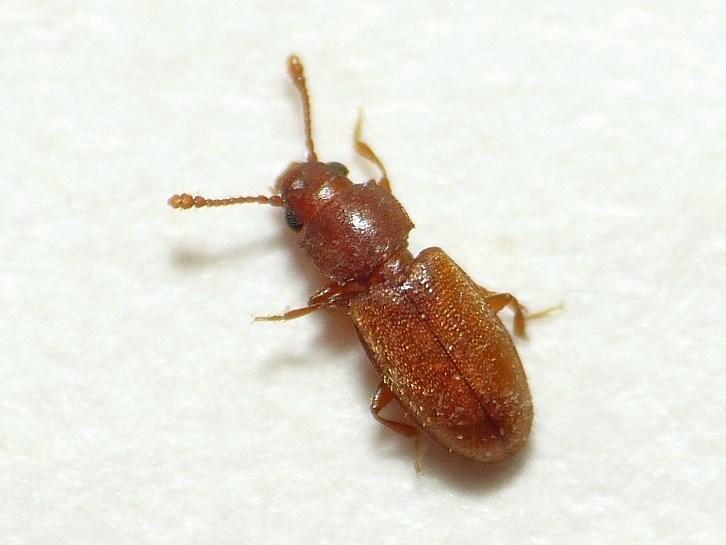жуки дома коричневые фото достоинствам относится слабая