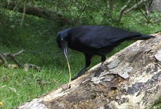 Ответы@Mail.Ru: Какая птица когда ест пользуется