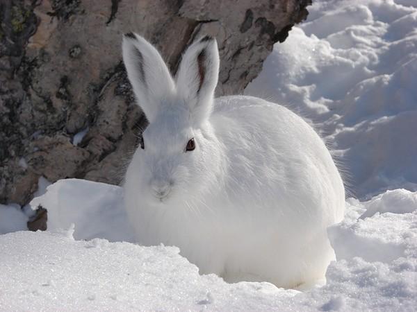 Какого заяц цвета