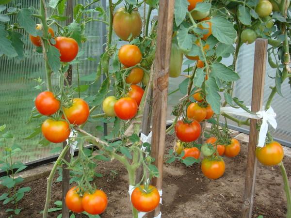 какие сорта помидор посадить в теплице