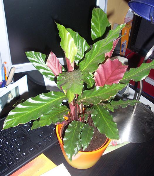 Листья сверху зеленые снизу фиолетовые