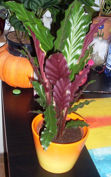 Комнатные растения листья сверху зеленые снизу фиолетовые