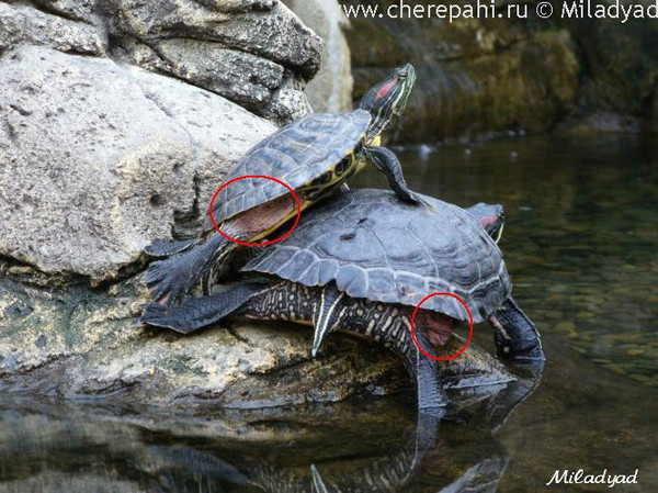 грибок у черепахи красноухой фото