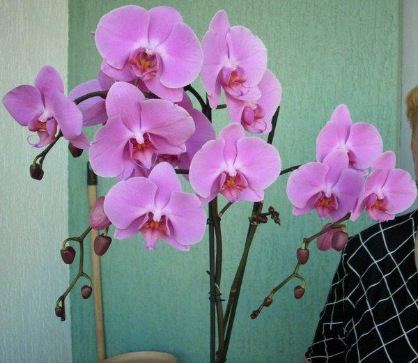 разновидности орхидеи фаленопсис